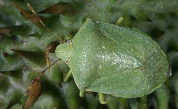 Insectes hemiptero des les punaises ou rhynchotes sfo soci t fran aise d orchidophilie de - Insecte vert volant ...