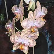 le phalaenopsis fiche de culture et de rempotage sfo soci t fran aise d orchidophilie de. Black Bedroom Furniture Sets. Home Design Ideas