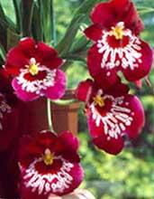 pousse racine orchidée