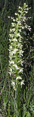 Insolite Platanthera chlorantha Taille hors norme Orchidées indigènes SFO PCV