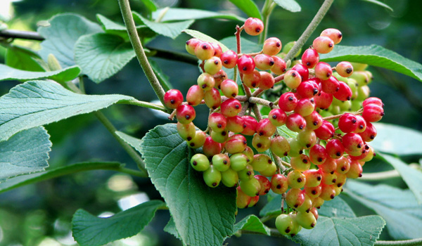 BAIES ET AUTRES FRUITS SAUVAGES - Les drupes de la Viorne lantane ou mancienne. (Viburnum lantana) Photos nature et biodiversité Photo SFO PCV Jean-Pierre Ring