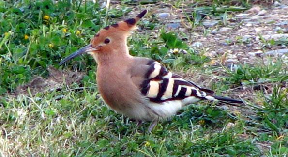 Oiseaux la huppe fasci e upupa epops photographies for Oiseaux du sud de la france