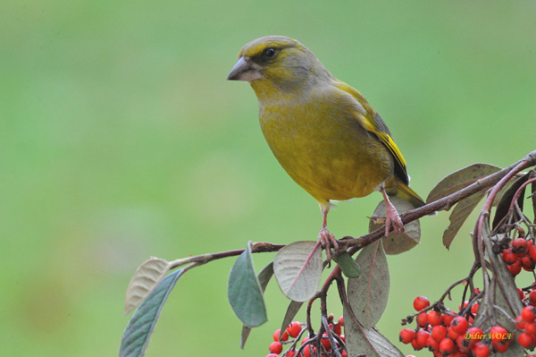 Oiseaux de nos mangeoires le verdier d 39 europe carduelis for Oiseaux de nos jardins