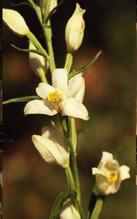 MICROSITES A ORCHIDEES - La Fontaine de Lion - Inventaires naturalistes. Photo Cephalanthera damasonium.