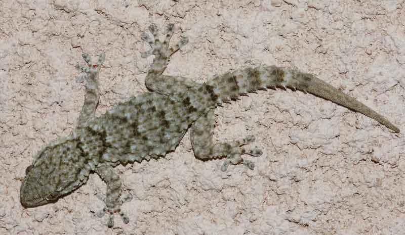 reptiles lacertiliens la tarente ou gecko de mauritanie tarentola mauritanica sfo soci t. Black Bedroom Furniture Sets. Home Design Ideas