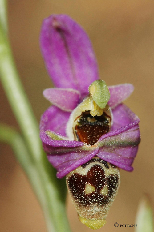 Insolite - L'Ophrys frileux Ophrys orphanidea