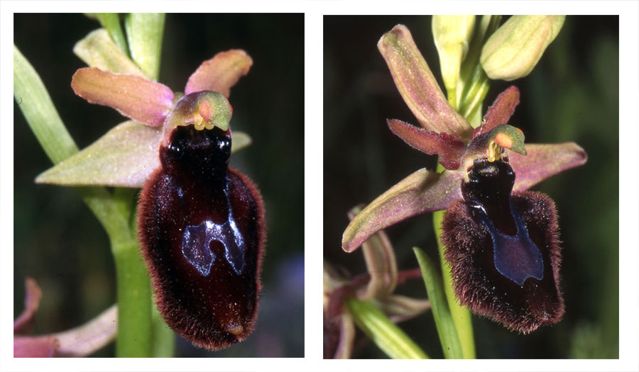 Possibles hybrides d'Ophrys bertolonii