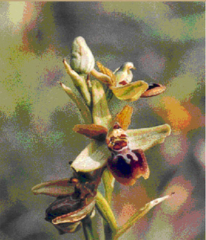 MICROSITES A ORCHIDEES - Le Carrefour du Gros Goc - Inventaires naturalistes. Photo Ophrys argensonensis.