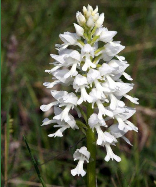 Orchis militaris albinos photo Jacques Charreau