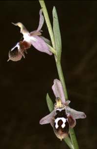 Ophrys straussi. Orchidées de Turquie. SFO PCV Photo Bernard Billaud.
