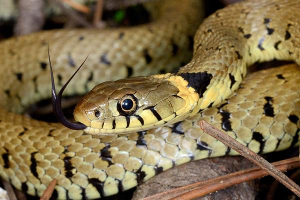 Reptiles Ophidiens La Couleuvre A Collier Natrix Natrix Sfo