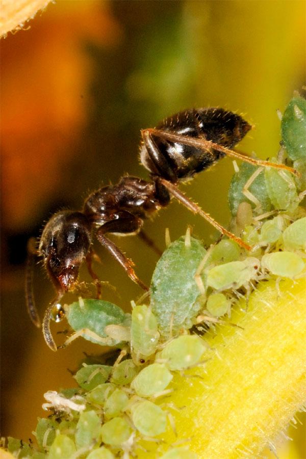 etudes elevage des pucerons par les fourmis sfo soci t fran aise d orchidophilie de poitou. Black Bedroom Furniture Sets. Home Design Ideas