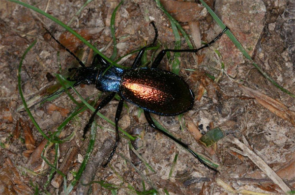 Le Carabe espagnol Carabus hispanus Photo Jacques Charreau SFO PCV