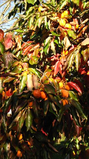 baies et autres fruits d 39 automne le kaki fruit du. Black Bedroom Furniture Sets. Home Design Ideas