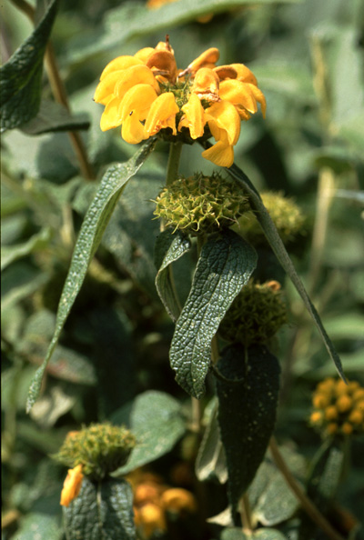 Phlomis. Orchidées de Turquie. SFO PCV. Photo. Bernard Billaud.