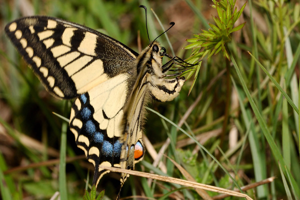 POLLINISATEURS D'ORCHIDEES - Le Machaon ( Papilio machaon sur Gymnadenia conopsea) Photo SFO PCV Yves Wilcox.